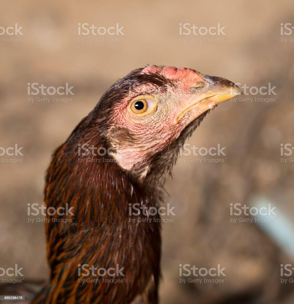 portrait of a chicken stock photo