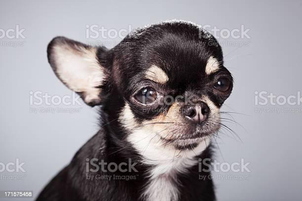 Portrait of a chihuahua picture id171575458?b=1&k=6&m=171575458&s=612x612&h=9buwul7nqj5ndr2vtqpxbwd0c2y5q im7tcue5mk ym=
