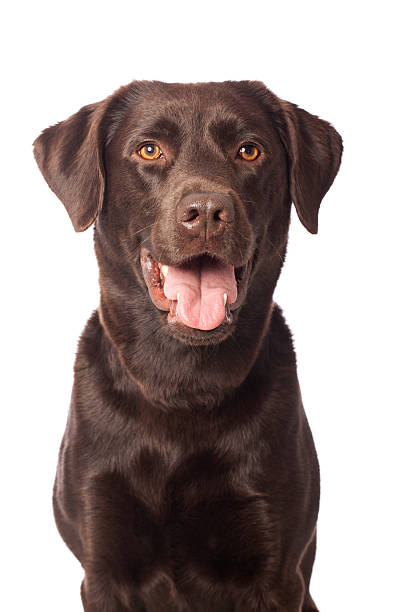Portrait of a chocolate labrador picture id155395581?b=1&k=6&m=155395581&s=612x612&w=0&h=mqtrdxzyc4zm1u9x4lkl1dhv3vhjgnamsexd9ynpcty=
