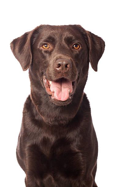 Portrait of a Chocolate Labrador stock photo