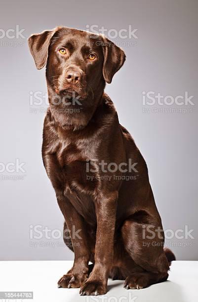 Portrait of a chocolate labrador picture id155444763?b=1&k=6&m=155444763&s=612x612&h=ieyargjba34zaobnvrp2fyf8n ptkdt9jm0ryybza5e=