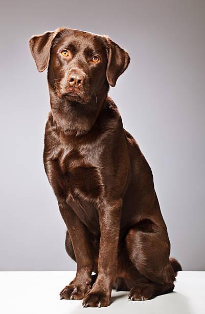 Portrait of a chocolate labrador picture id155444763?b=1&k=6&m=155444763&s=612x612&w=0&h=hdy8crudsi26gbnpf9ejf8onqnulvpb30bdfmh myi0=