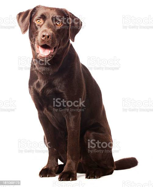 Portrait of a chocolate labrador picture id181069173?b=1&k=6&m=181069173&s=612x612&h=gw1growlruqs6 vvhebuffv f7q6za2qsqet cpp 7i=