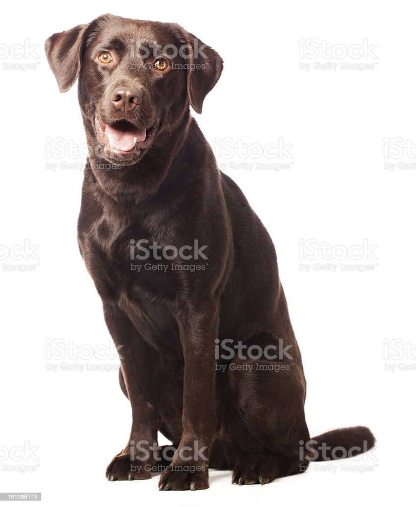 Portrait of a Chocolate Labrador stock photo