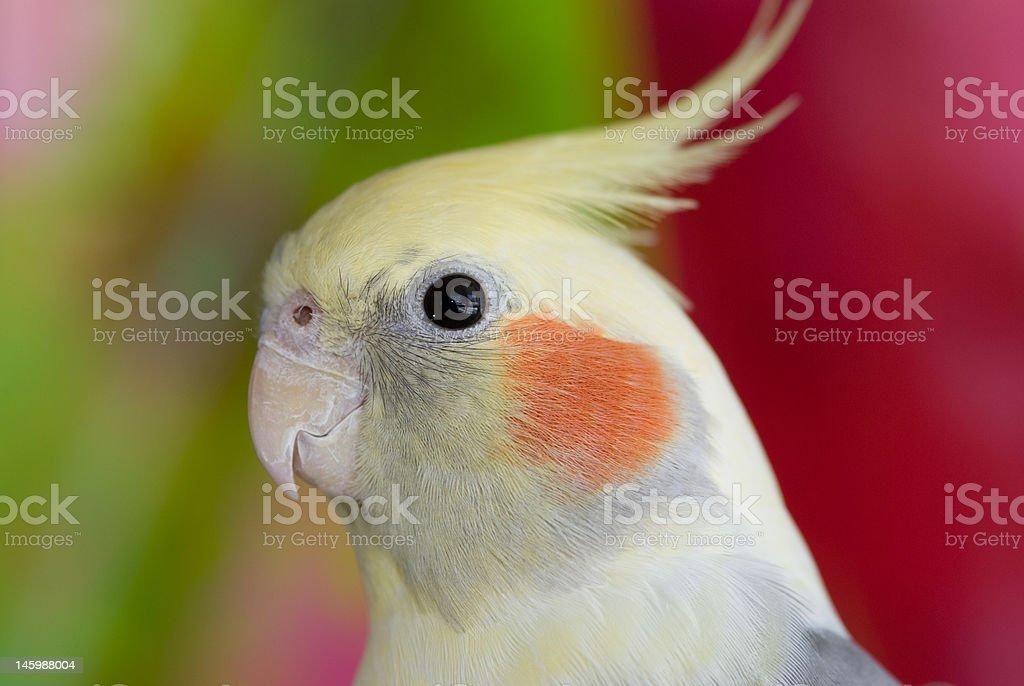portrait of a cockatiel stock photo