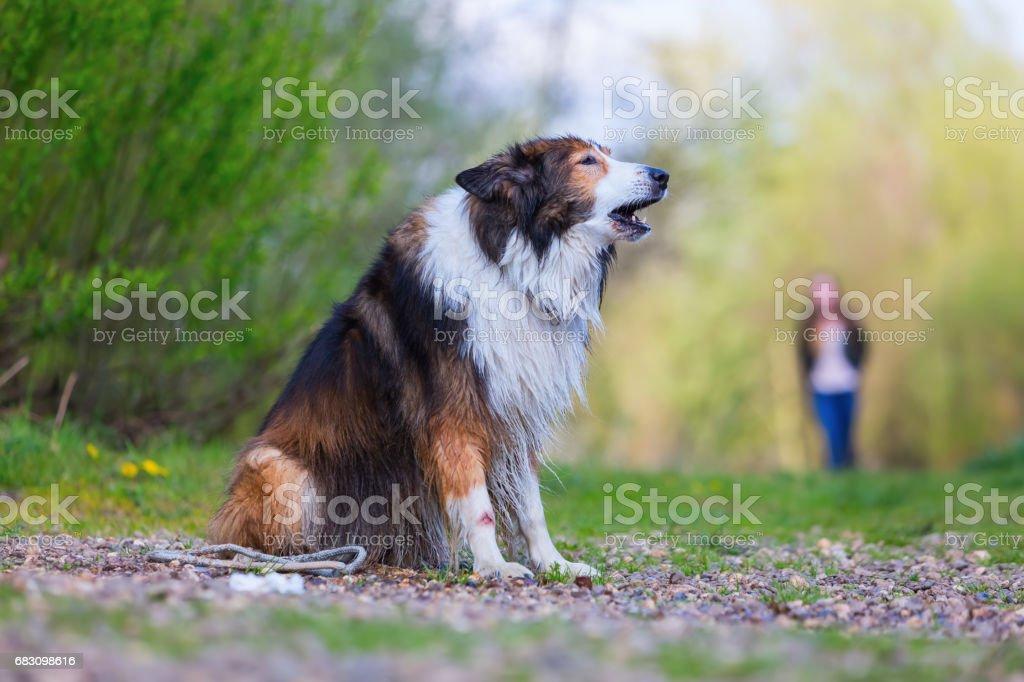 portrait of a Collie mix dog foto de stock royalty-free