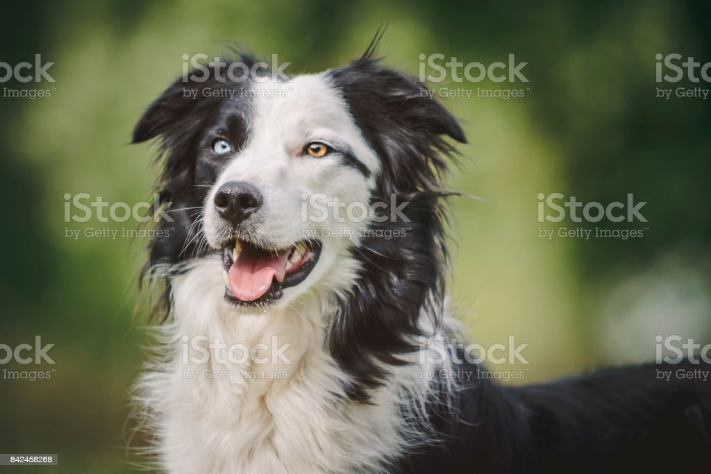 Portrait eines Collies stock photo