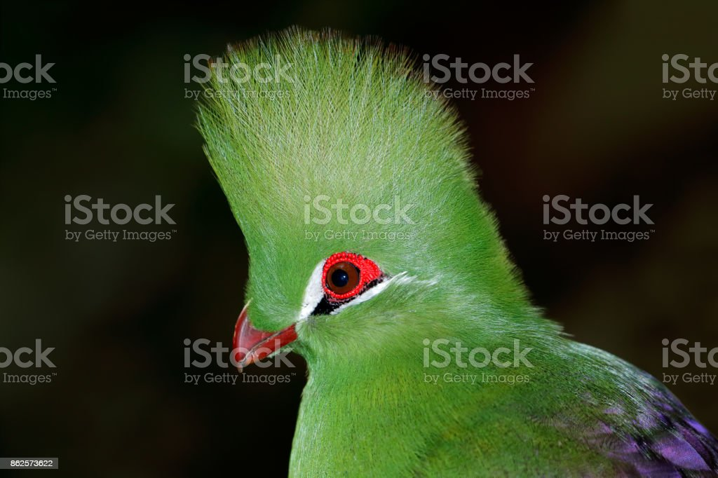 Portrait of a colorful green turaco stock photo