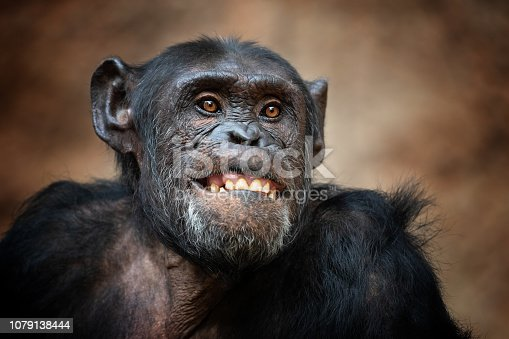Portrait of a common chimpanzee making a funny Face.