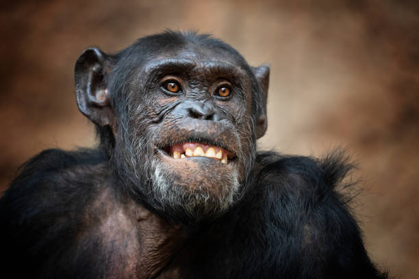 portrait of a common chimpanzee - ape stock pictures, royalty-free photos & images