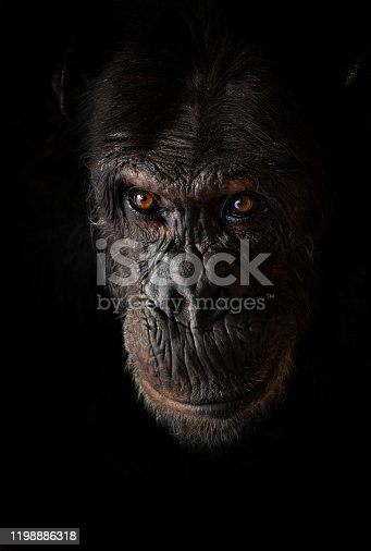 A common chimpanzee was sitting in the corner of an enclosure in a zoo. A little bit sunlight was on it's face.