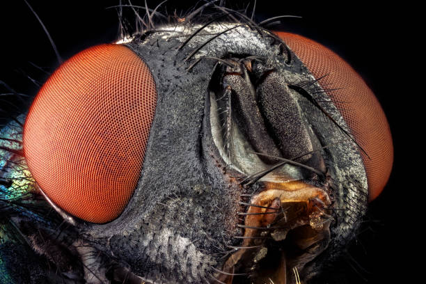 Portrait of a common green bottle fly stock photo