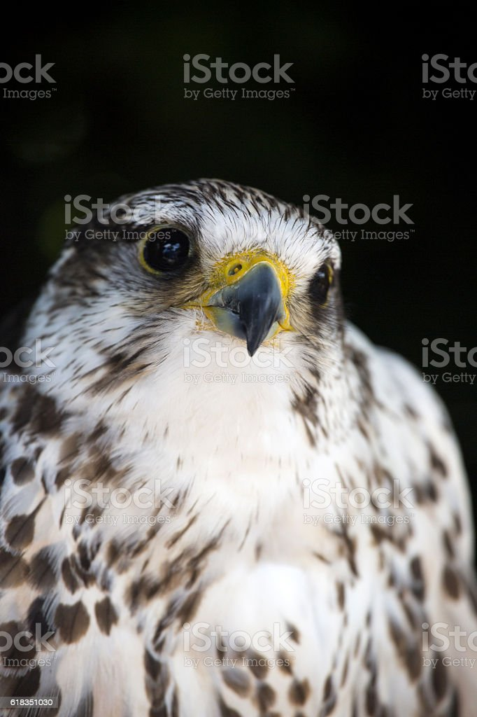 Portrait of a common kestrel isolated stock photo