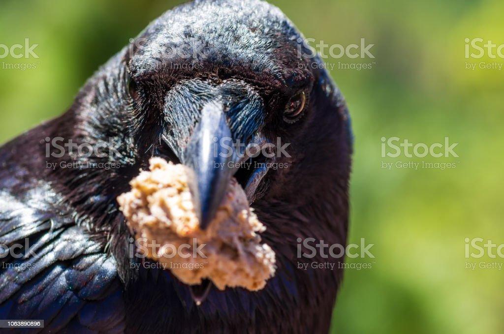 Porträt von einem gemeinsamen Rabe, Corvus Corax, ein Stück Brot in seinem Schnabel hält – Foto