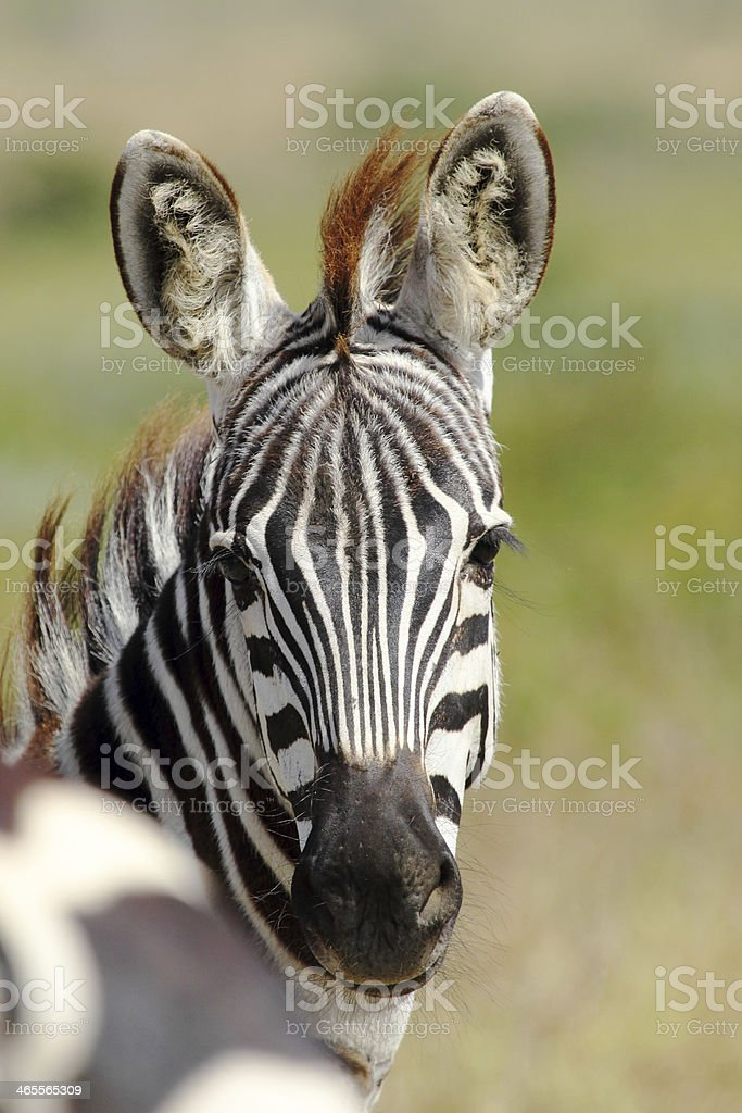 Portrait of a common zebra royalty-free stock photo