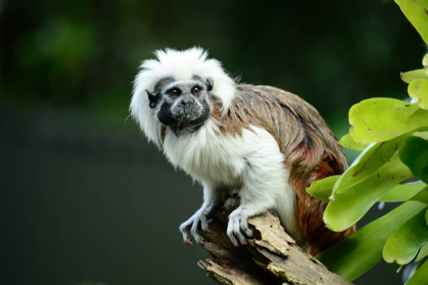 Portrait of a cotton-top tamarin (Saguinus oedipus) a critically endangered species from the tropical rainforests of Northwest Colombia. Cotton-top tamarins form monogamous relationships (only one partner) and are very territorial. marmoset stock pictures, royalty-free photos & images