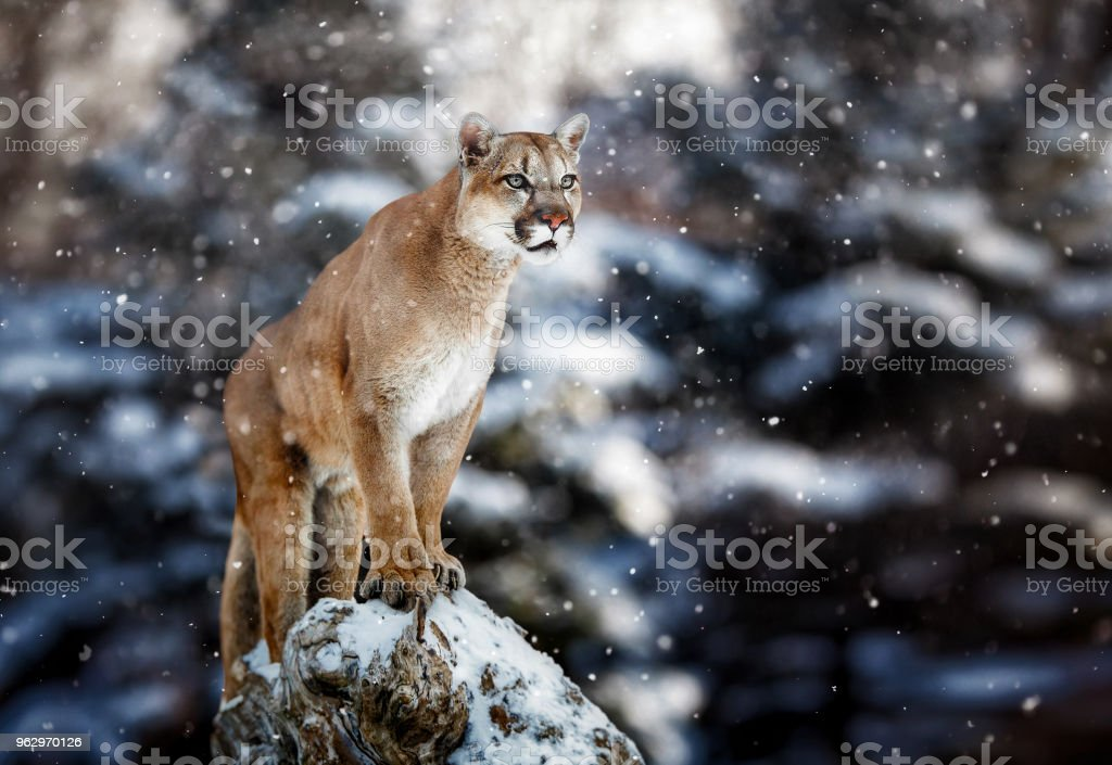 4be69ce12b6e Portrait Of A Cougar Mountain Lion Puma Panther Striking A Pose On A ...