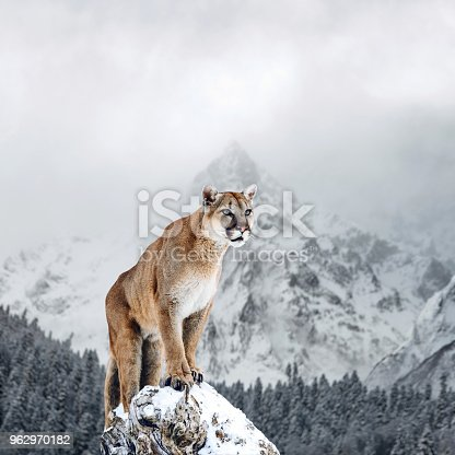 istock Portrait of a cougar, mountain lion, puma, panther, striking a pose on a fallen tree, winter mountains 962970182