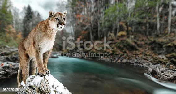 istock Portrait of a cougar, mountain lion, puma, panther, striking a pose on a fallen tree. Gorge of the mountain river 962970452