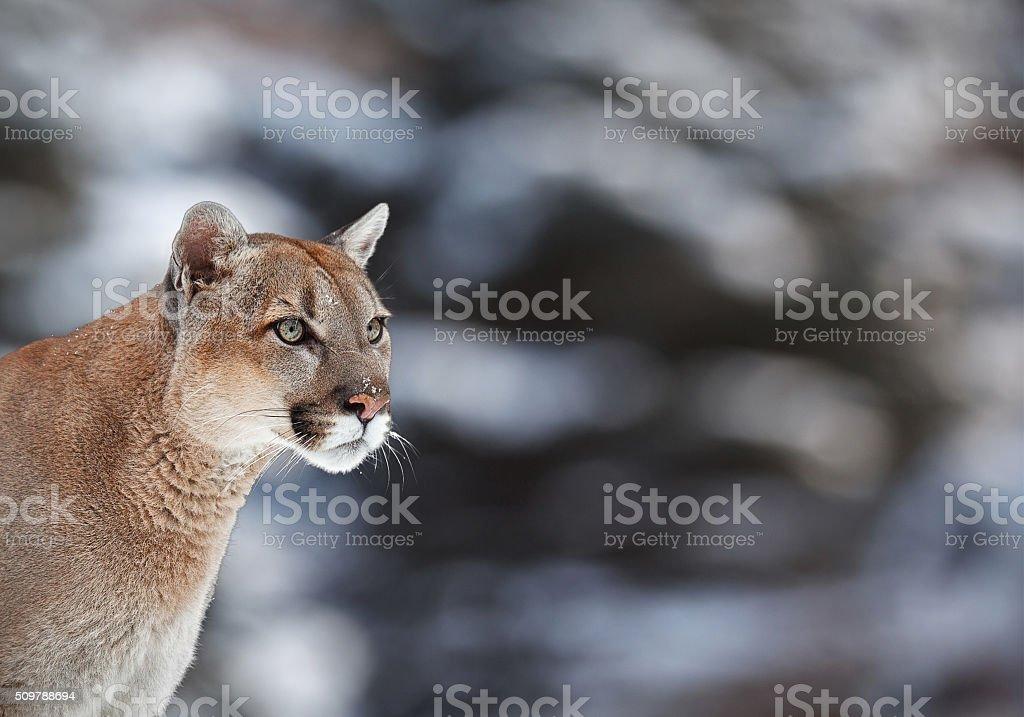 Porträt Des Cougar Mountain Lion Einer Puma Stockfoto und