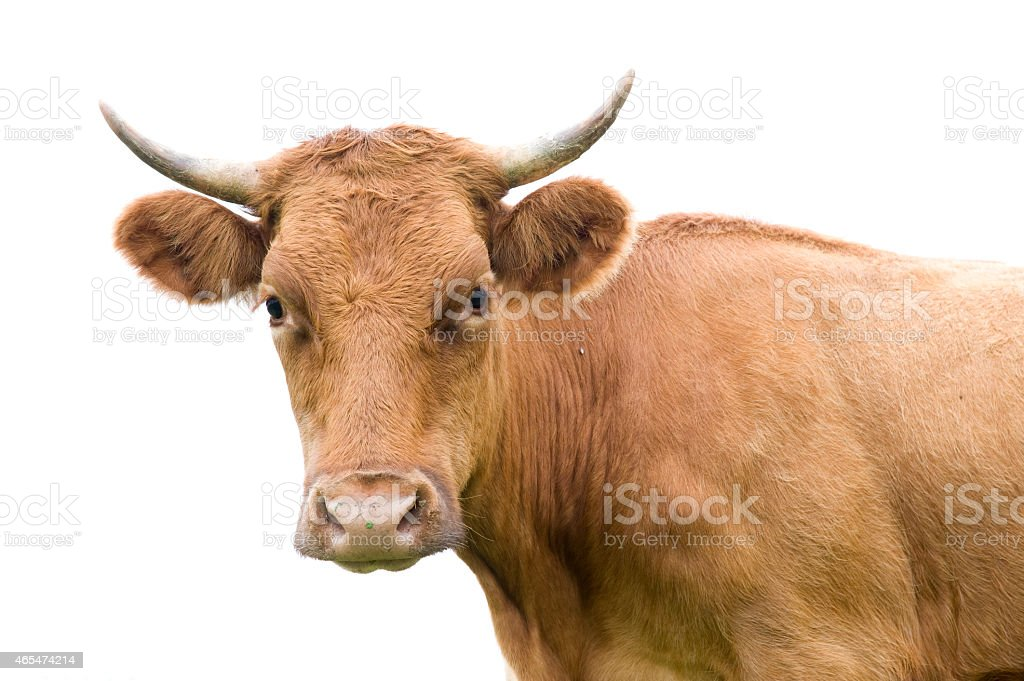 Portrait of a cow on white. stock photo