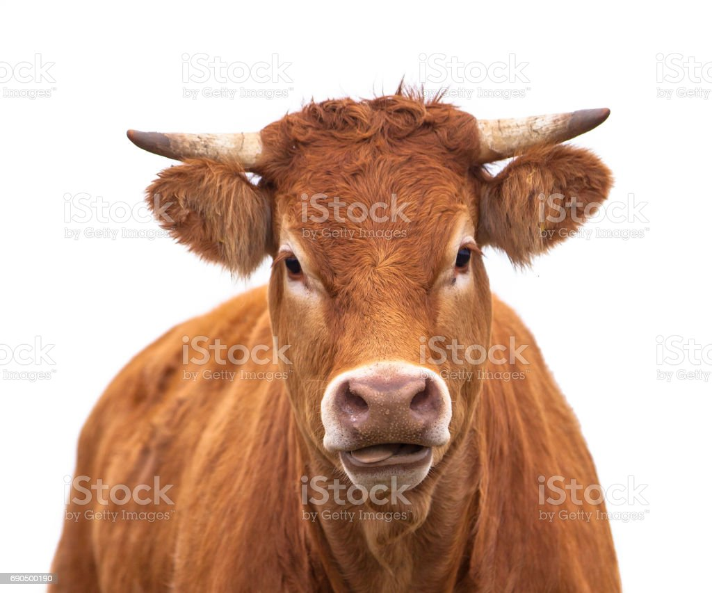 Portrait of a Cow stock photo