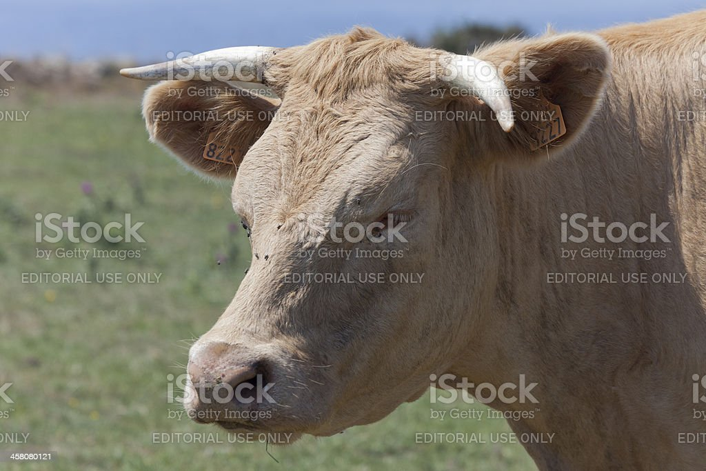 Portrait of a cow with horns and ear tag royalty-free stock photo