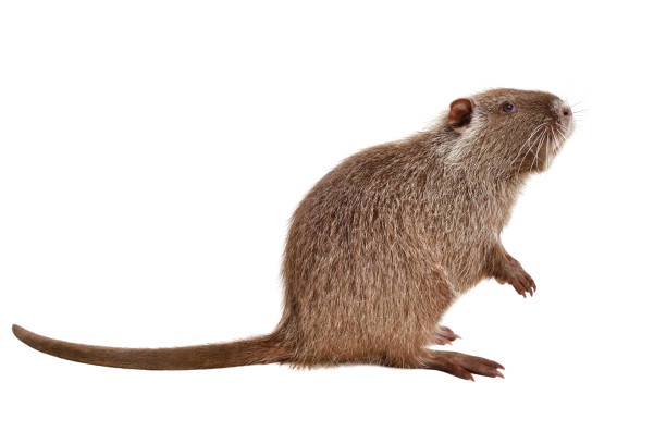Portrait of a coypu, sitting in profile, isolated on white background stock photo