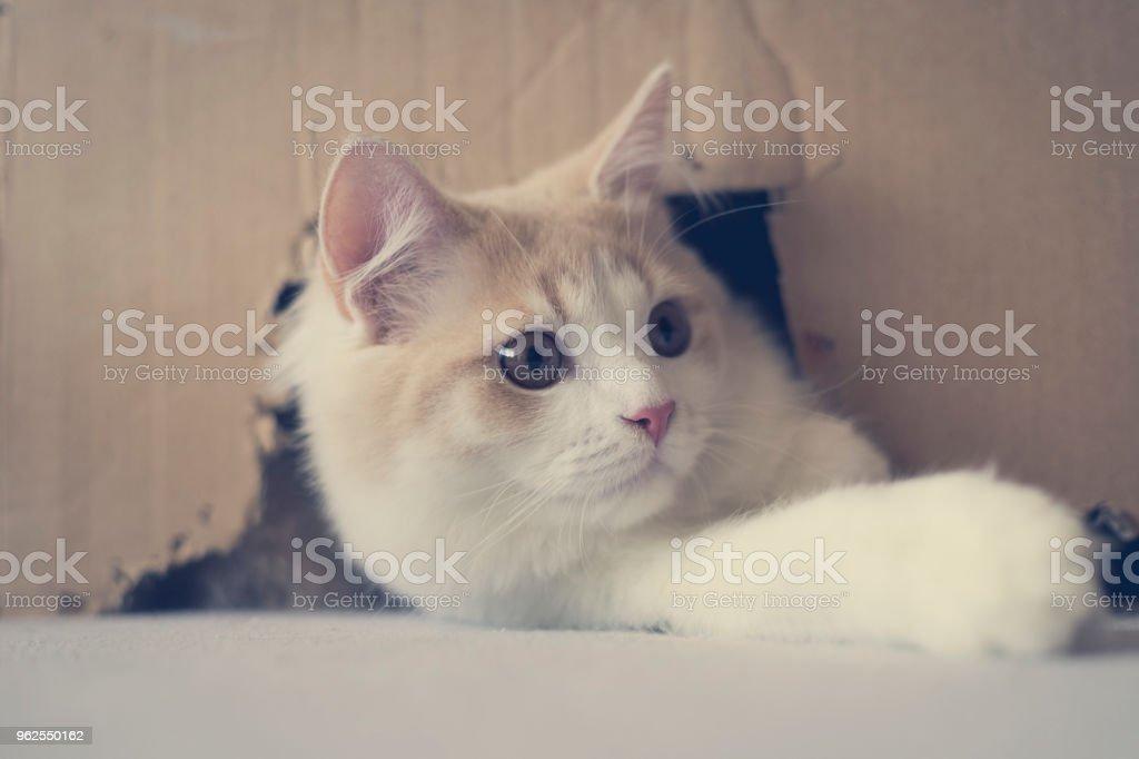 Retrato de um gato de pelo comprido branco-creme olhando para fora de uma caixa de papelão - Foto de stock de Alemanha royalty-free