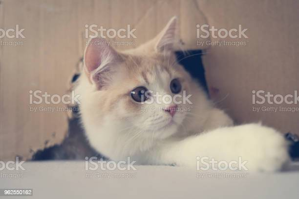 Foto de Retrato De Um Gato De Pelo Comprido Brancocreme Olhando Para Fora De Uma Caixa De Papelão e mais fotos de stock de Alemanha