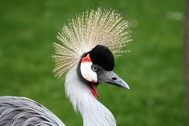 Porträt eines crowned crane-bird – Foto