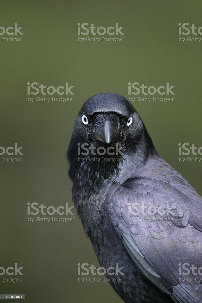 Porträt einer crow-raven – Foto