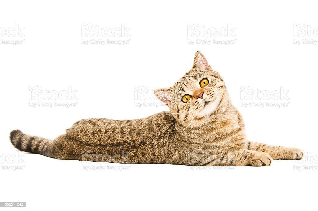 Portrait of a curious cat Scottish Straight stock photo