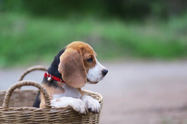 Portret van een schattig beagle pup binnen rieten mand, zijn hand houdt de rand van de mand. foto