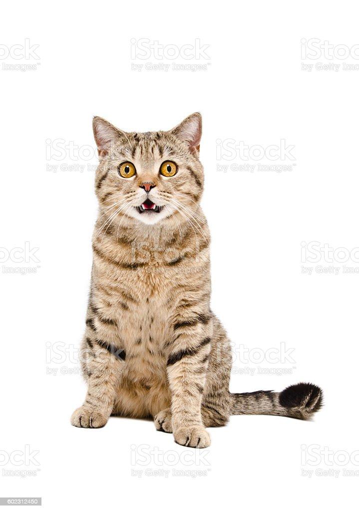 Portrait of a cute cat Scottish Straight stock photo