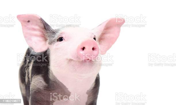 Portrait of a cute cheerful pig isolated on white background picture id1180219877?b=1&k=6&m=1180219877&s=612x612&h=cbij9xrnsckaunjyn sffjsx2d4kywhj 8n9wmzwe1k=