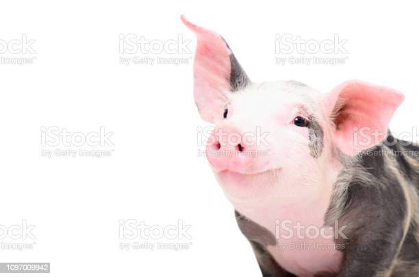 Portrait of a cute cheerful pig picture id1097009942?b=1&k=6&m=1097009942&s=612x612&h=ncokv mqzynig1o6braxuitqxp wvlbfspa6wwrpoz8=
