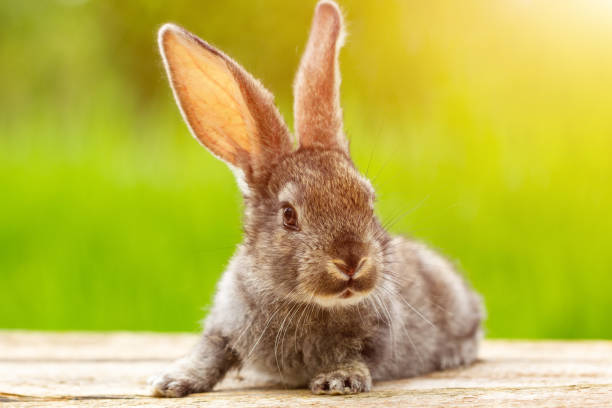 Portrait of a cute fluffy gray rabbit with ears on a natural green background stock photo