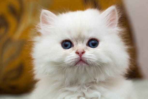 Portrait of a cute fluffy white British long-haired kitten stock photo