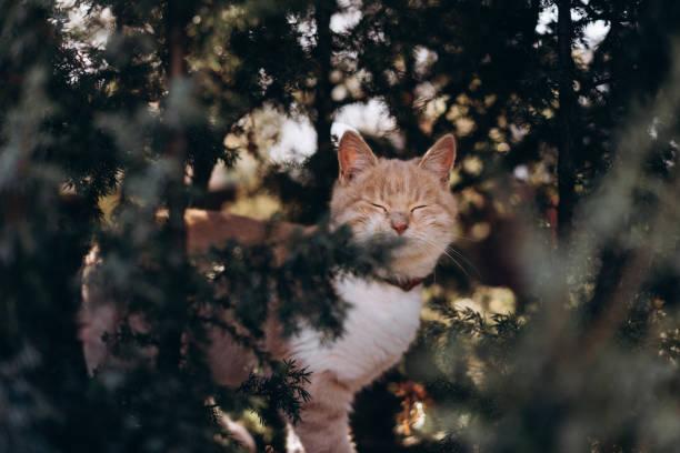 Portrait of a cute ginger cat that climbs a tree picture id1287841113?b=1&k=6&m=1287841113&s=612x612&w=0&h=a8xdvvnktasxkst1r 8k5uep6ty jutd lv4xpkozdk=
