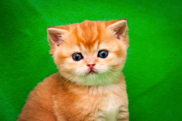Portrait of a cute golden british kitten close-up, the muzzle of a red kitten with a pink nose stock photo
