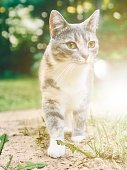 Portrait of a cute gray and white cat waking outdoors in a green yard with sunshine and light.