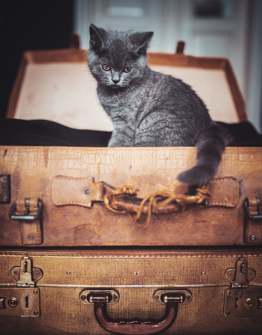 Beautiful British shorthair kitten sitting on an old suitcases