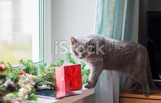 Portrait of a cute gray cat lying on the windowsill, decorated with a Christmas garland and gifts.