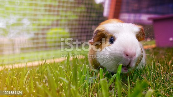 Beautiful brown and white guinea pig eating grass on a pastel colors background
