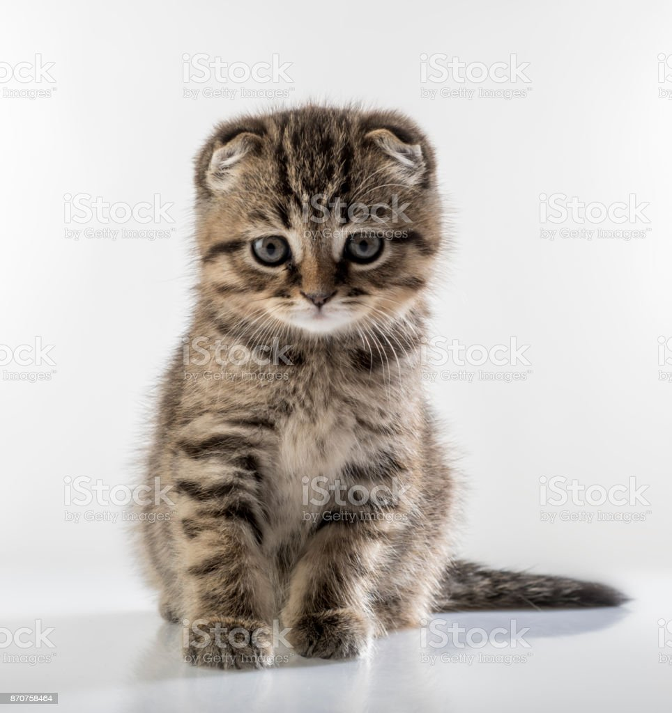 Portrait d'un chaton mignon d'un chat Scottish Fold sur un fond blanc regarder attentivement - Photo
