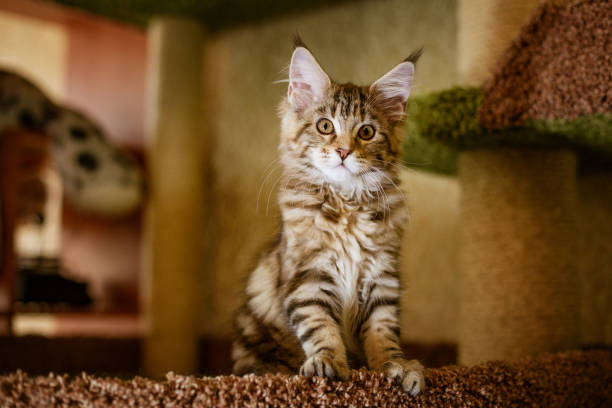 Portrait of a Cute kitten of the Maine Coon breed stock photo