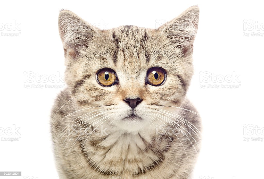 Portrait of a cute kitten Scottish Straight closeup stock photo