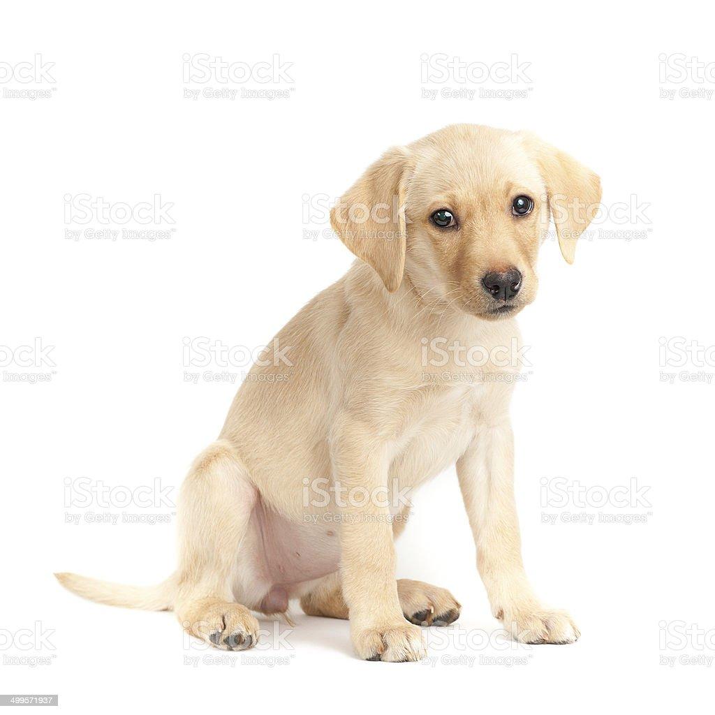 Portrait of a cute labrador retriever puppy on white background stock photo