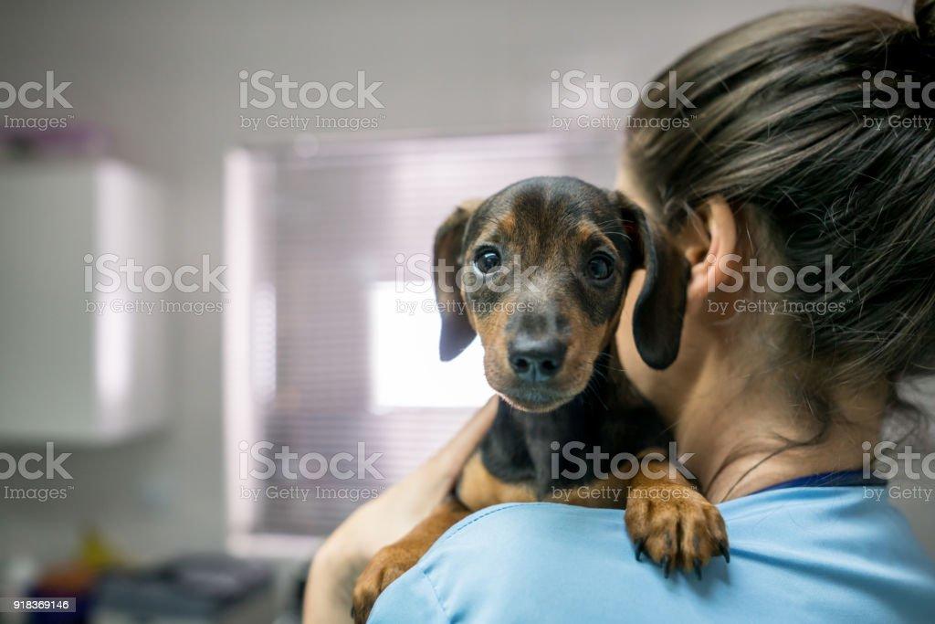 Portrait d'un teckel petit mignon porté par une femme méconnaissable chez le vétérinaire - Photo